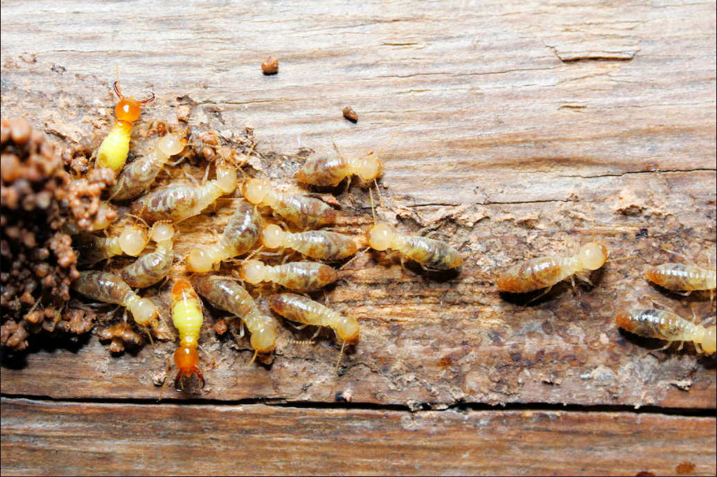 How You Can Eliminate Termites